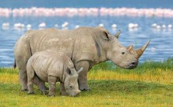 Rhinoceros Wallpapers 01
